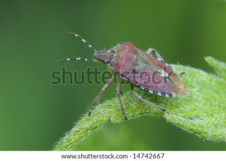 Bedbug sits on a leaf. Insecta / Hemiptera / Pentatomidae /Dolycoris baccarum - stock photo