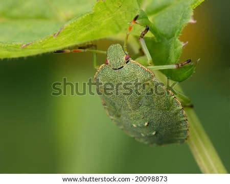 Bedbug sits on a leaf. Insecta /Hemiptera /Pentatomidae /Palomena prasina - stock photo