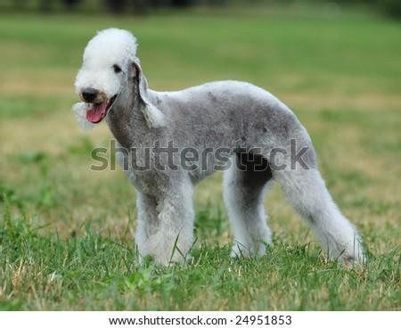 Bedlington Terrier  dog portrait - stock photo