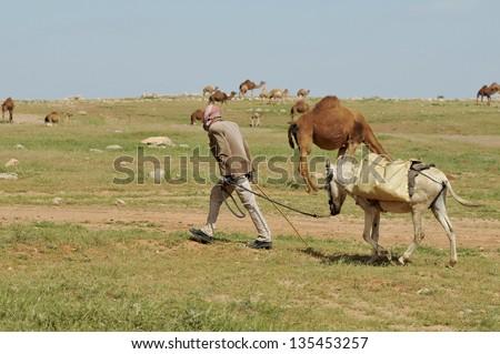 Bedouin shepherd with donkey and camel - stock photo