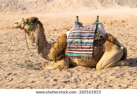Bedouins transportation for tourist in Egypt - camel in Arabian desert.  - stock photo