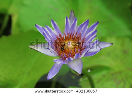 bee and lotus flower green background. - stock photo
