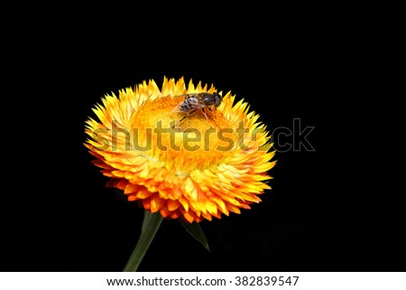 bee and straw flower on black background - stock photo