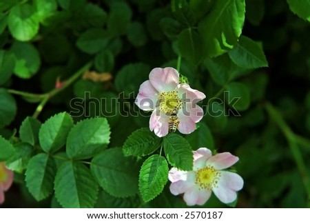 bee and wild rose - stock photo