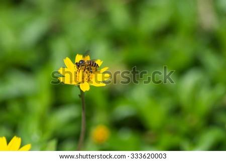 bee are sucking nectar yellow flowers . - stock photo