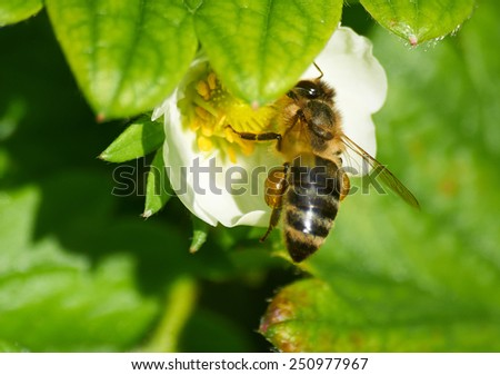 Bee at work in white flower of strawberry - stock photo