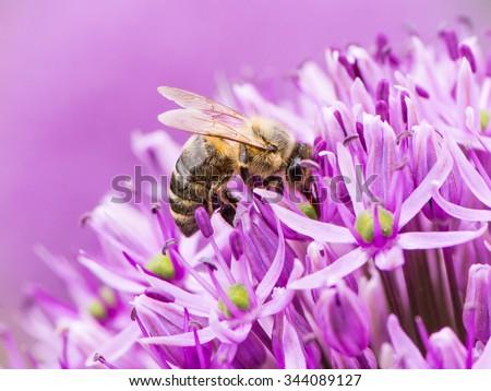 Bee collecing pollen on a purple giant onion flower (Allium Giganteum) - stock photo