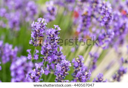 Bee collecting nectar from a lavender flower - stock photo