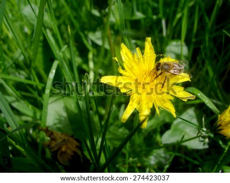 Bee collecting nectar on dandelion flower. Yellow dandelion flower  in green grass, spring photo  - stock photo