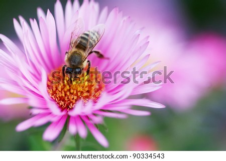 Bee collecting pollen Bee on a beautiful pink flowers is looking for pollen - stock photo