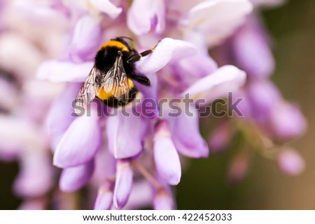 bee collects nectar on clover, white clover, flowers, green grass - stock photo