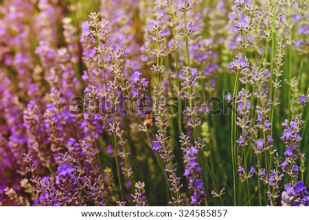Bee collects nectar on the flowers of lavender.Special toned photo in vintage style - stock photo