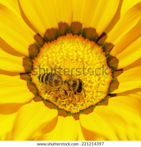 Bee collects pollen  on daisy flower - stock photo