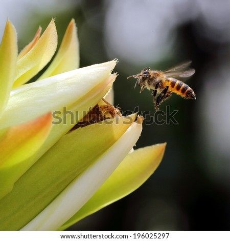 Bee Covered with Pollens Flying Into a Flower Bud - stock photo