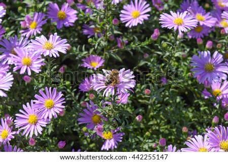 Bee drinking nectar on a light purple flowers. Insects pollinate flowers. - stock photo