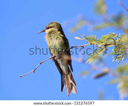 Bee-eater, Swallow tailed - African Birds - Solo portrait of green feathers and blue skies. - stock photo