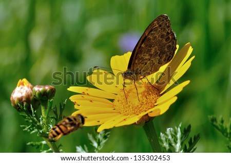 Bee flying next to butterfly feeding on yellow flower nectar. Busy spring day. - stock photo