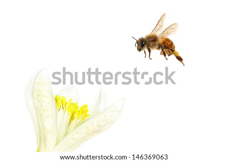 Bee flying to the citrus flower. Isolated on white background  - stock photo