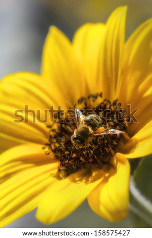 Bee gathering nectar from a flower - stock photo