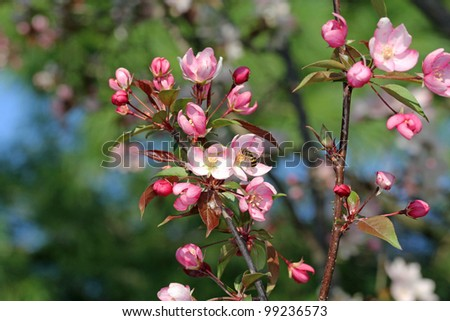 Bee gathering pollen from a pink crabapple blossom in the spring with copy space. - stock photo
