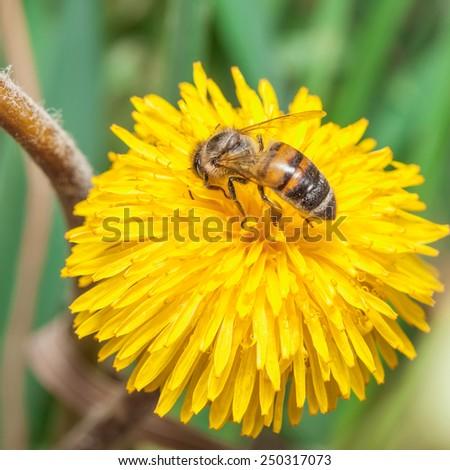 Bee gathers honey at dandelion - stock photo