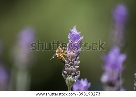 Bee honey comes flying purple flower. - stock photo