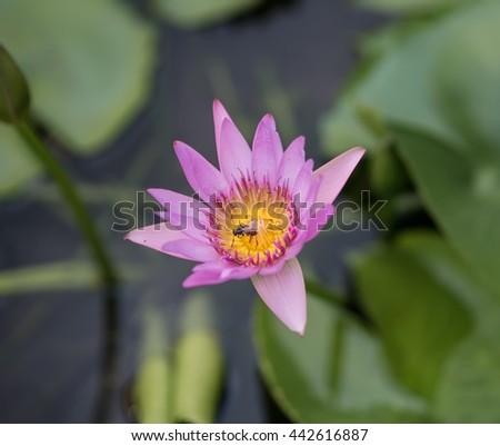 Bee in a Beautiful Purple Lotus Flower Blooming In The Water Jar - stock photo