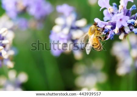 bee in a purple flower - stock photo
