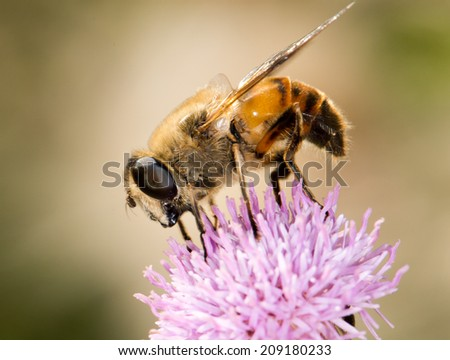 bee in nature. close-up - stock photo