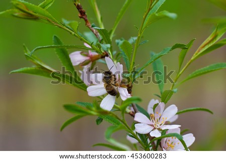Bee is pollination apple-tree - stock photo