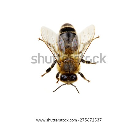 Bee isolated on the white. macro of a living insect. - stock photo