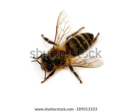 bee isolated on white background - stock photo