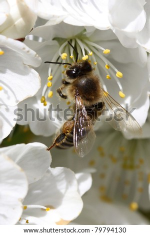 Bee on a cherry blooming flower - stock photo