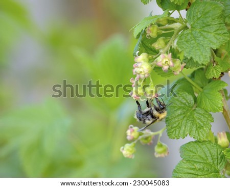 Bee on a flower currant - stock photo