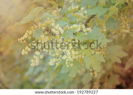 bee on a flower of red currants - stock photo