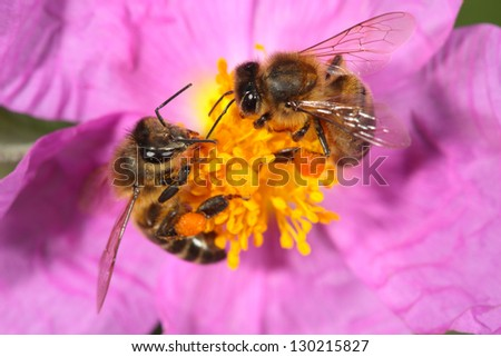 bee on a flower stamens - stock photo