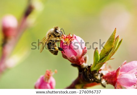 Bee on a spring pink flower  - stock photo