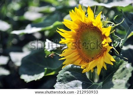 bee on a sunflower field - stock photo