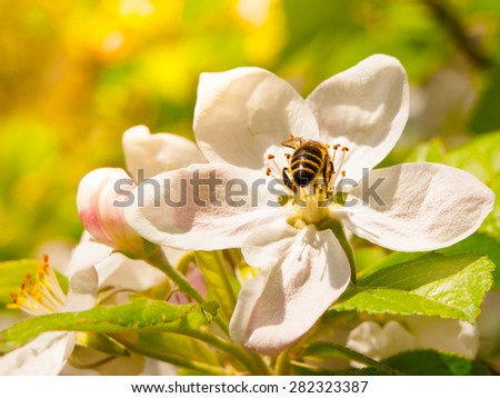 Bee on a white cherry blossom with green leaf backbround - stock photo