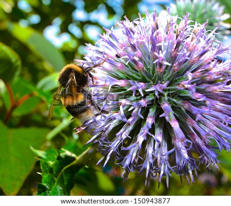 Bee on allium flower - stock photo