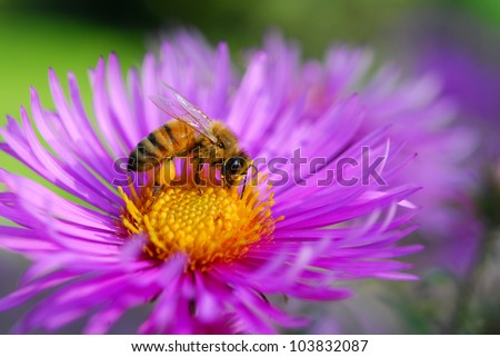 bee on aster flower - stock photo