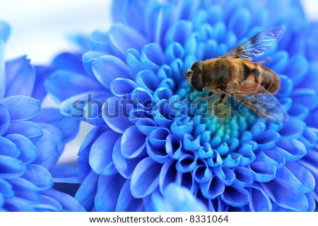 Bee on blue Dahlia, flower background - stock photo