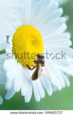 Bee on camomile close up - stock photo