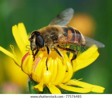 Bee on dandelion - stock photo
