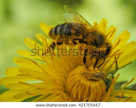 Bee on dandelion flower fully in the yellow pollen close up - stock photo