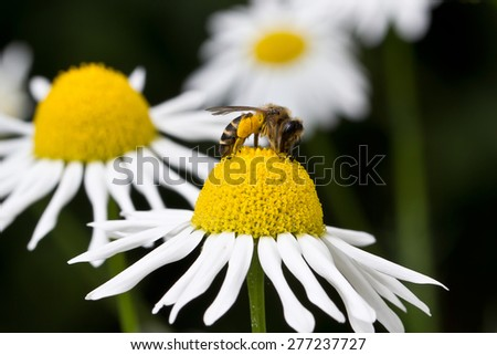Bee on flower / Honey bee on yellow flower collecting pollen. - stock photo