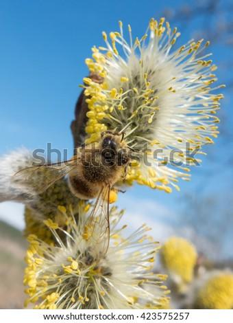 Bee on flower. Honeybee. Pollination - stock photo
