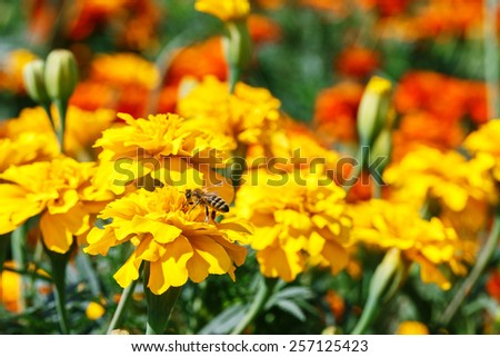 Bee on Marigolds outside day green leaves bokeh - stock photo