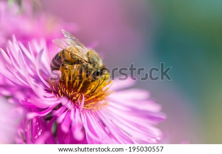 Bee on Michaelmas daisy - stock photo