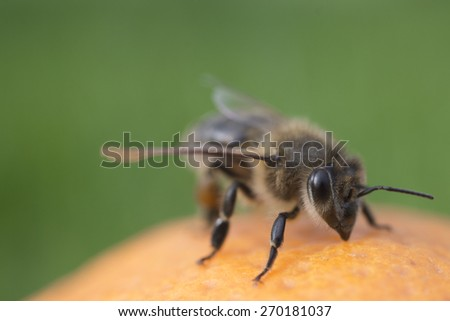 Bee on orange on green background - stock photo